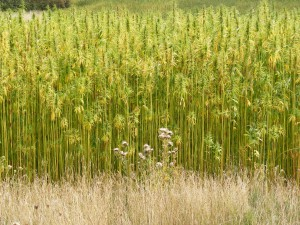 Hemp_Crop_in_Peasenhall_Road,_Walpole_-_geograph.org.uk_-_1470339